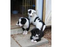 Border Collie Puppies for sale in Houston, TX, USA. price: NA