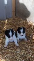 Border Collie Puppies for sale in TX-249, Houston, TX, USA. price: NA