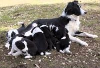 Border Collie Puppies for sale in Millersburg, IN 46543, USA. price: NA