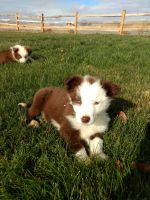 Border Collie Puppies for sale in Boise, ID, USA. price: NA