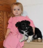 Border Collie Puppies for sale in Newark, NJ, USA. price: NA