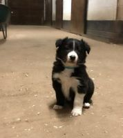Border Collie Puppies for sale in San Francisco, CA, USA. price: NA