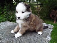 Border Collie Puppies for sale in New York County, New York, NY, USA. price: NA