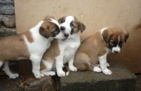 Border Collie Puppies for sale in Los Andes St, Lake Forest, CA 92630, USA. price: NA
