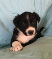 Border Collie Puppies for sale in Henagar, AL, USA. price: NA