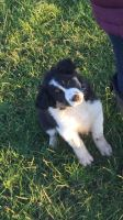 Border Collie Puppies for sale in Alaska St, Staten Island, NY 10310, USA. price: NA