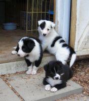 Border Collie Puppies for sale in Atlanta, GA, USA. price: NA