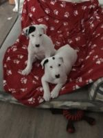 Border Collie Puppies for sale in Texas City, TX, USA. price: NA