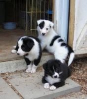 Border Collie Puppies for sale in Cheyenne, WY, USA. price: NA