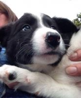 Border Collie Puppies for sale in Victoria, TX, USA. price: NA