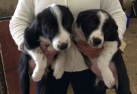 Border Collie Puppies for sale in Los Angeles, CA, USA. price: NA