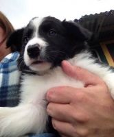 Border Collie Puppies for sale in Detroit, MI, USA. price: NA