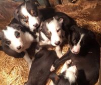 Border Collie Puppies for sale in San Diego, CA 92027, USA. price: NA