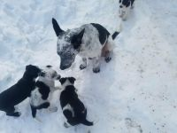 Border Collie Puppies for sale in Great Falls, MT, USA. price: NA