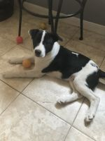 Border Collie Puppies for sale in Katy, TX, USA. price: NA