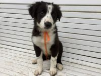 Border Collie Puppies for sale in Salem, OR 97301, USA. price: NA