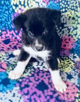 Border Collie Puppies for sale in Buckeye, AZ, USA. price: NA