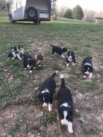 Border Collie Puppies for sale in Indian Mound, TN 37079, USA. price: NA