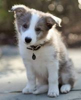 Border Collie Puppies for sale in Columbus, OH 43215, USA. price: NA