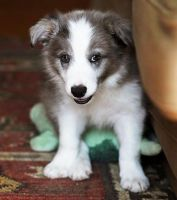 Border Collie Puppies for sale in Chicago, IL 60638, USA. price: NA