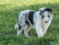 Border Collie Puppies for sale in Grand Rapids, MI, USA. price: NA