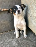 Border Collie Puppies for sale in Tacoma, WA, USA. price: NA