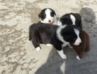 Border Collie Puppies for sale in SC-9, Chester, SC, USA. price: NA