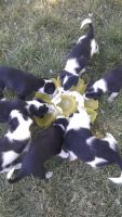 Border Collie Puppies for sale in Twin Falls, ID, USA. price: NA