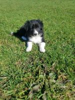 Border Collie Puppies for sale in Minden City, MI 48456, USA. price: NA