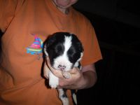 Border Collie Puppies for sale in Mountain Lake, MN 56159, USA. price: NA
