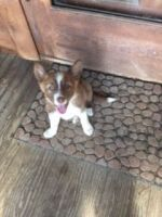 Border Collie Puppies for sale in Concord, NC 28025, USA. price: NA