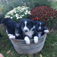 Border Collie Puppies for sale in Mcveytown, PA 17051, USA. price: NA