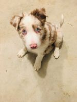 Border Collie Puppies for sale in Richmond, IN 47374, USA. price: NA