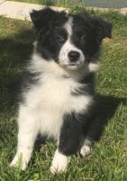 Border Collie Puppies for sale in Williston, FL 32696, USA. price: NA