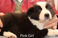 Border Collie Puppies for sale in Greeneville, TN, USA. price: NA