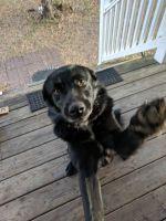Border Collie Puppies for sale in Cordesville, SC 29434, USA. price: NA