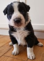 Border Collie Puppies for sale in Greensboro, NC, USA. price: NA