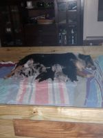 Border Collie Puppies for sale in Long Branch, TX 75669, USA. price: NA
