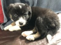 Border Collie Puppies for sale in Egg Harbor Township, NJ, USA. price: NA