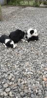 Border Collie Puppies for sale in NJ-27, Metuchen, NJ, USA. price: NA