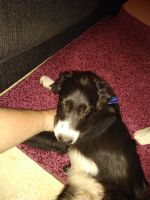 Border Collie Puppies for sale in Spartanburg, SC 29307, USA. price: NA
