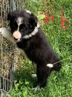 Border Collie Puppies for sale in Horse Branch, KY 42349, USA. price: NA
