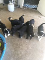 Border Collie Puppies for sale in Saratoga Springs, UT, USA. price: NA