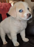 Border Collie Puppies for sale in Gaffney, SC, USA. price: NA