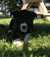 Border Collie Puppies for sale in Galt, CA, USA. price: NA