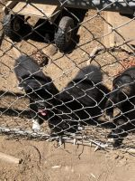 Border Collie Puppies for sale in Porterville, CA 93257, USA. price: NA