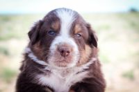 Border Collie Puppies for sale in Los Lunas, NM 87031, USA. price: NA