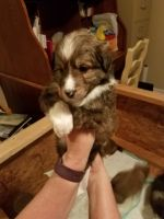 Border Collie Puppies for sale in Peyton, CO 80831, USA. price: NA