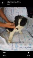 Border Collie Puppies for sale in Barboursville, WV, USA. price: NA