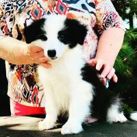 Border Collie Puppies for sale in Fresno, CA 93720, USA. price: NA